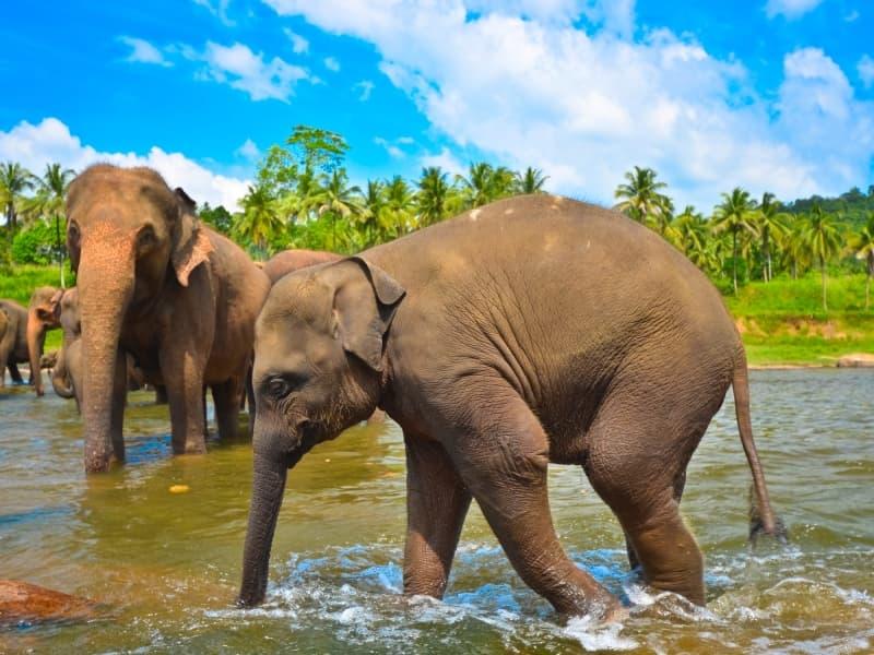 Elephant du sri lanka